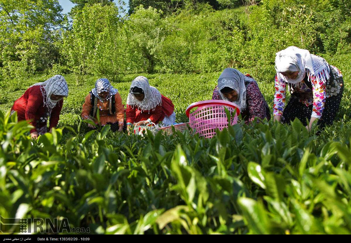 excessive import of tea kills Iran's local production