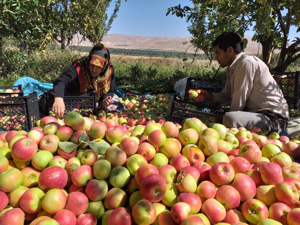 Iran apple production